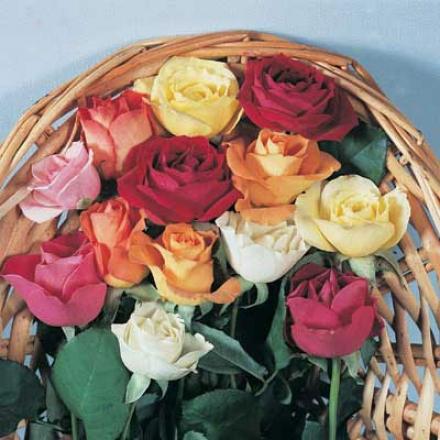 Hybrid Rose Bargain