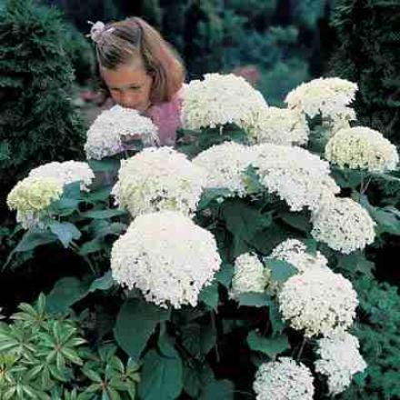 Hydrangea, Annabelle