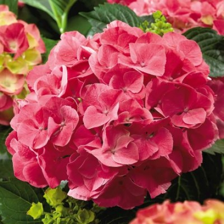 Hydrangea, Forever & Everâ® Red