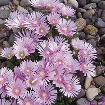 Ice Plant, Lavender Ice™