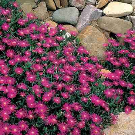 Ice Plant, Purple