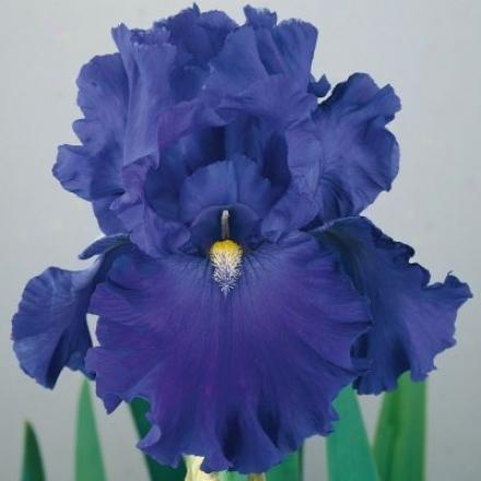 Iris, Blue Suede Shoes