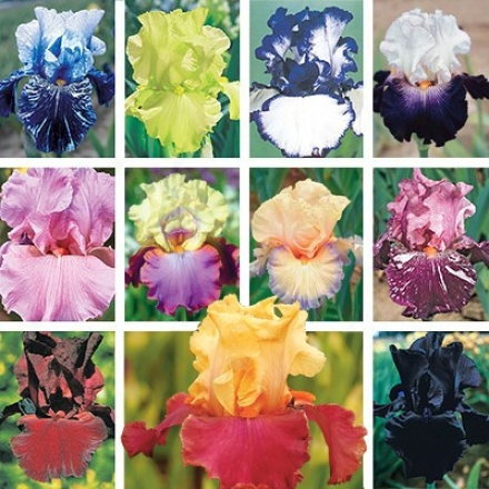 Iris Collection, Favorite