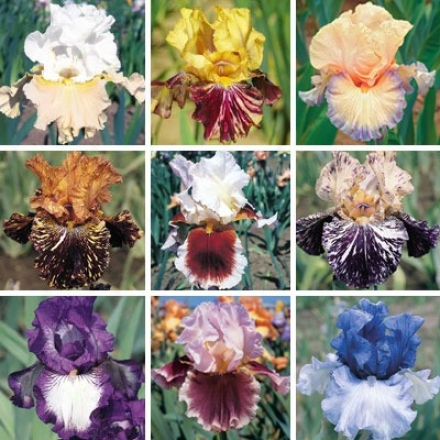 Iris Collection, Garden