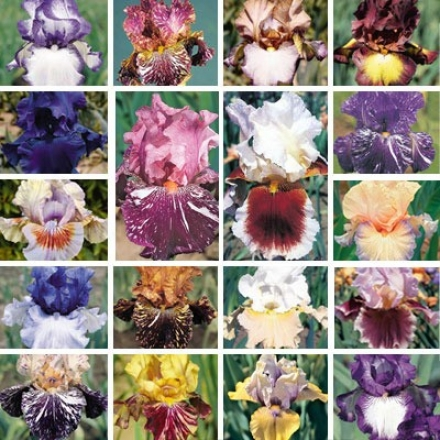 Iris Collection, Great Esteem