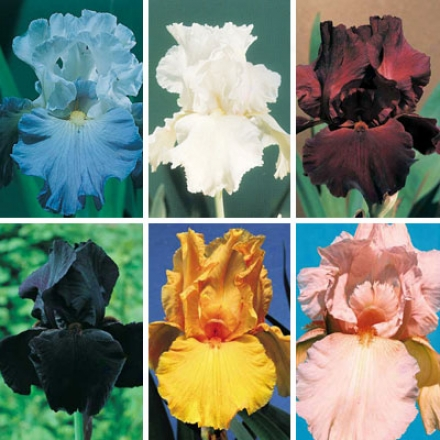 Iris Assemblage, Most Popular