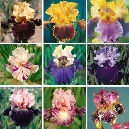 Iris Collection, Two-tone