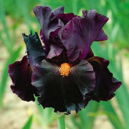 Iris, Dracula's Kiss