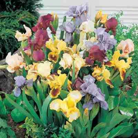 Iris, Dwf Reblooming Mix