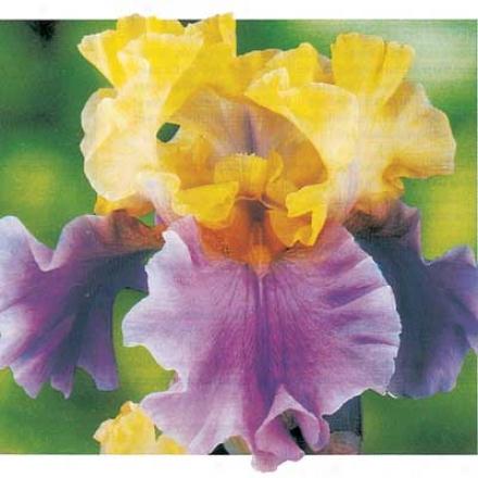 Iris, Edith Wolford