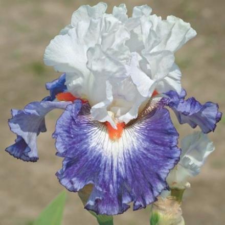 Iris, Gypsy Lord
