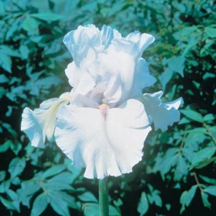 Iris, Immotrlity