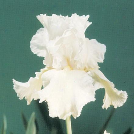 Iris, Lacy Snowflake