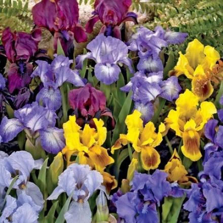 Iris Mix, Dwarf Reblooming