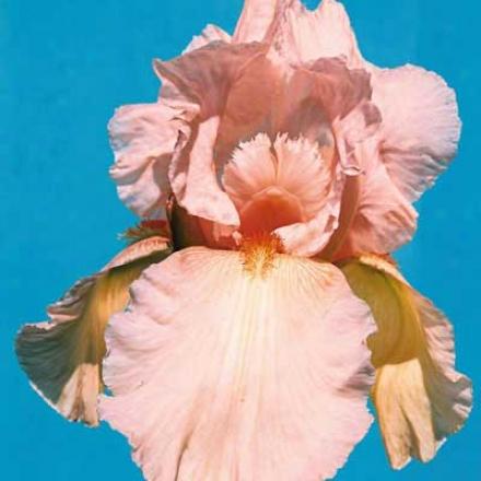 Iris, Pinm Horizon