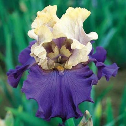 Iris, Recurring Take ~