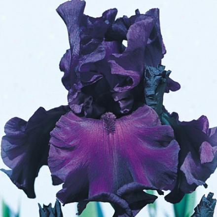 Iris, Rosalie Figg