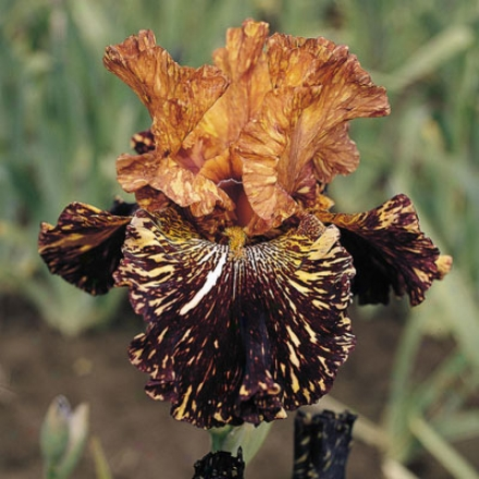 Iris, Spiced Tiger