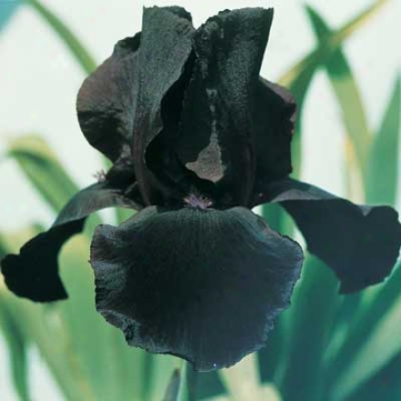 Iris, Stdy In Black