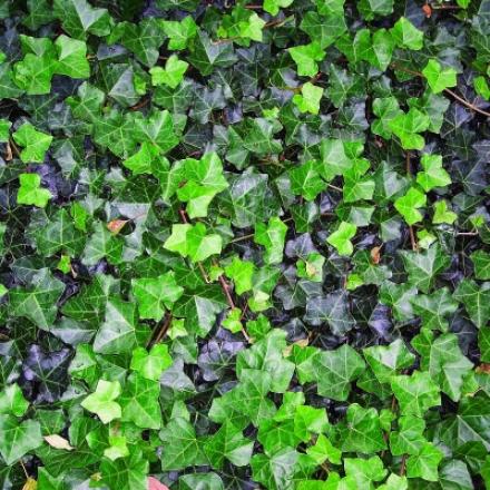Ivy, Sub Naught