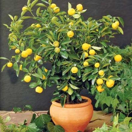 Lemon, Dwarf