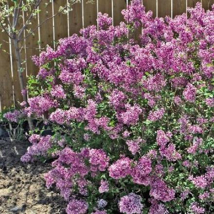 Lilac, Bloomerang� Reblooming