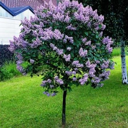 Lilac Tree, Persian