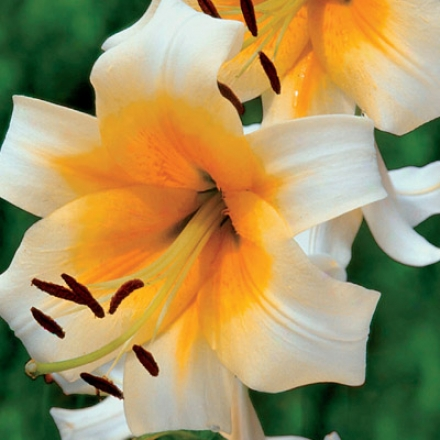 Lily, American Flame