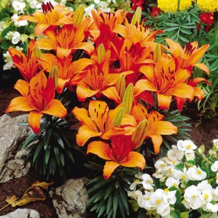 Lily, Carpet Border Orange