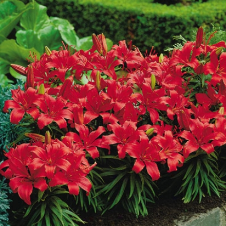 Lily, Carpet Border Red
