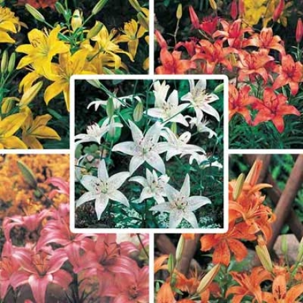 Lily Collection, Asiatic