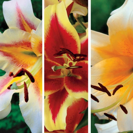 Lily Collection, Jumbo Oriental Trumpet