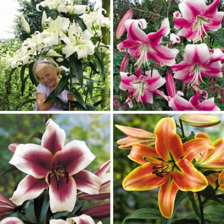 Lily Collection, Towering