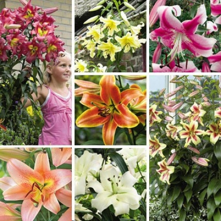 Lily Garden, Giant Towering