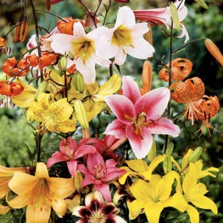 Lily Mix, All Summer