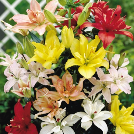 Lily Mix, Double Asiatic