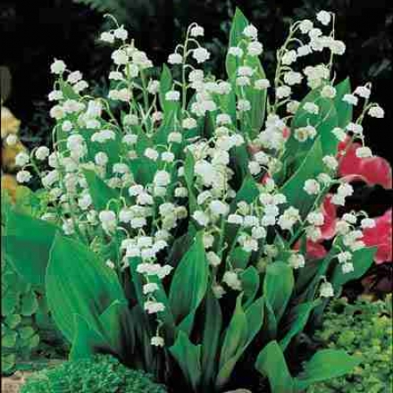 Lily Of The Valley, White