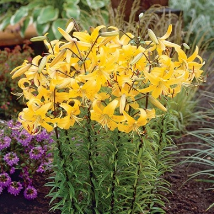 Lily, Tiger Yellow Star