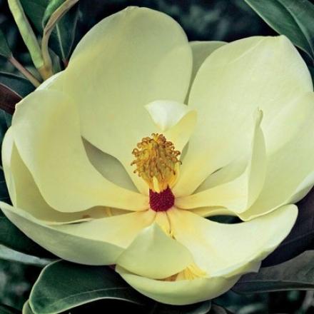 Magnolia, Hardy