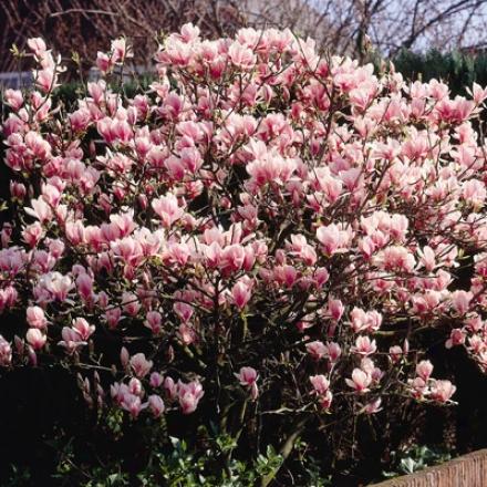 Magnolia, Saucer