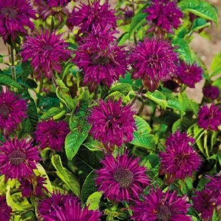 Monardia, Purple Rooster