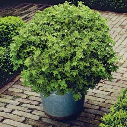 Mosqquito Shoo Geranium