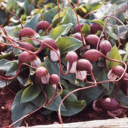 Mouse Plant