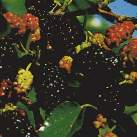 Mulberry, Russian