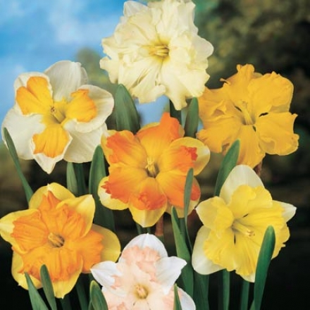 Narcissus, Butterfly Assortment