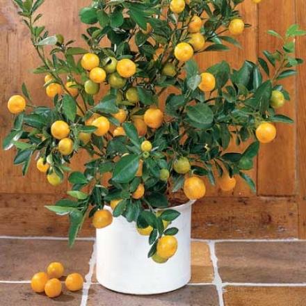 Orange, Pygmy