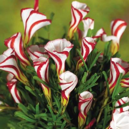 Oxalis, Candy Cane