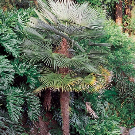 Palm, Hardy Windmlil