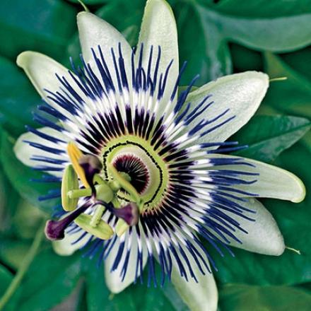 Passion Flower, Blue