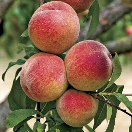 Peach, Dwarf Elberta